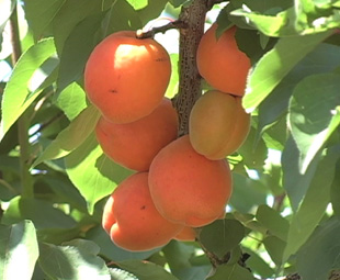 Flying fruit from SA to the UK